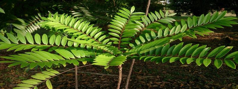 Eurycoma-longifolia-parmi-les-meilleurs-boosters-de-testosterone