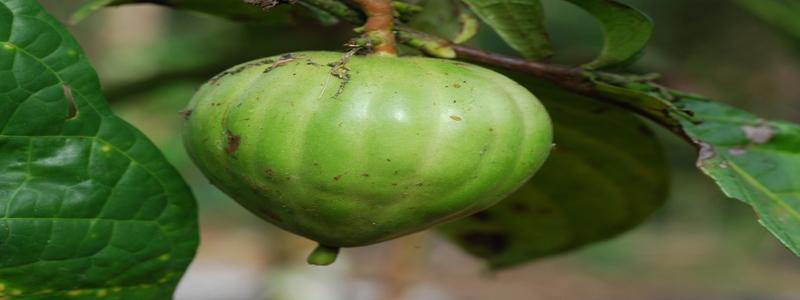 massularia-acuminata